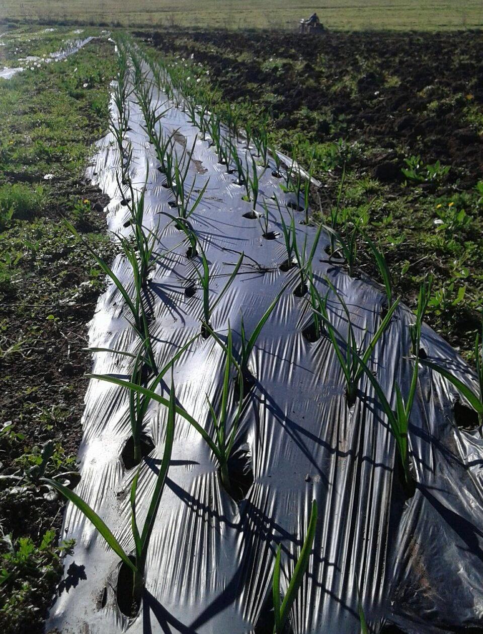 L'aglio piantato nel primo giorno di agricoltura sociale
