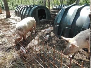 Allevamento di maiali: il recinto delle mamme con i piccoli