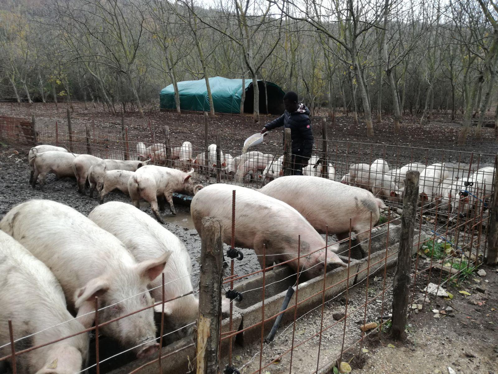 Campi Ri-Aperti. I maiali del Casale di Martignano